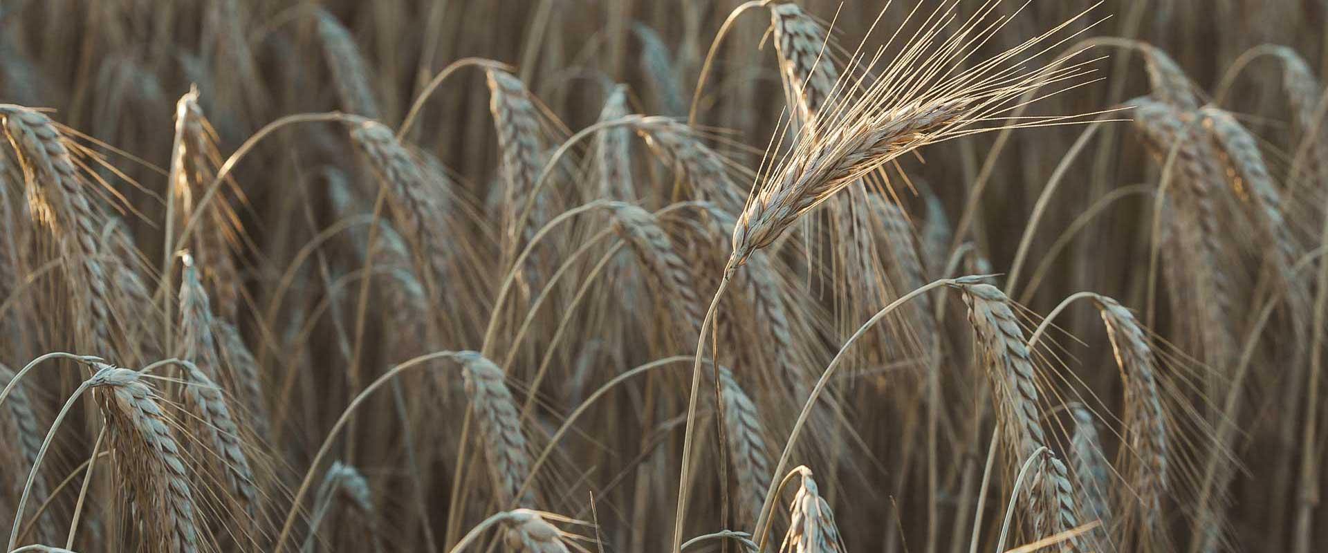 Weizenfeld Ähren Nahaufnahme