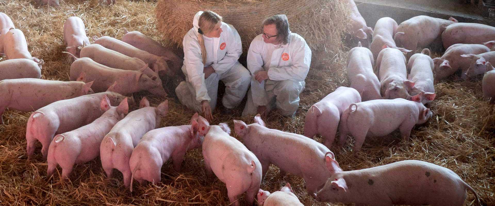Schweine im Stall auf Stroh mit Metzger